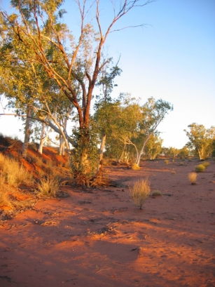 River Gum tree on the Hay River Track, Australian 4x4 Tag Along Tours 4wd tag along tour