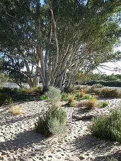 Simpson Desert Gum Tree on an Australian 4x4 Tag Along Tours Simpson Desert 4wd Tag Along