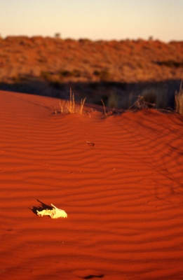 skull on a dune in simpson desert image