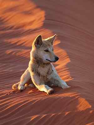 Dingo in Simpson Desert on Australian 4x4 tag Along Tours trip
