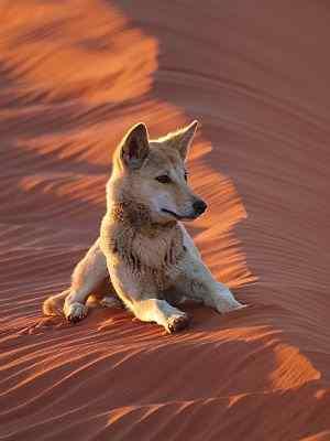 Dingo in Simpson Desert on Australian 4x4 tag Along Tours trip